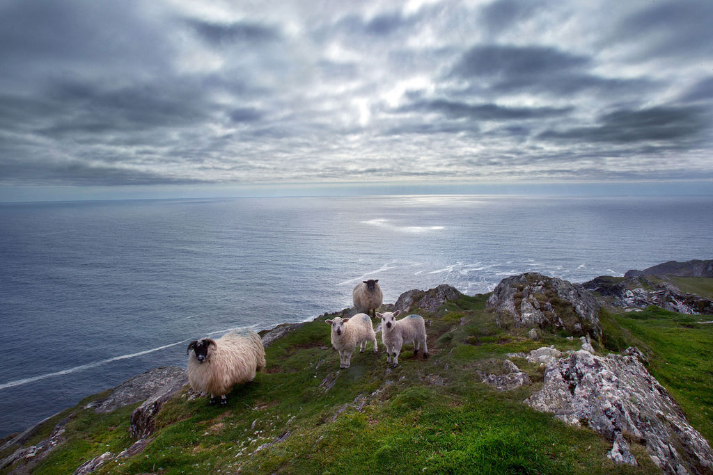 A herd of sheep graze on a steep cliffside of the Wild Atlantic Way.